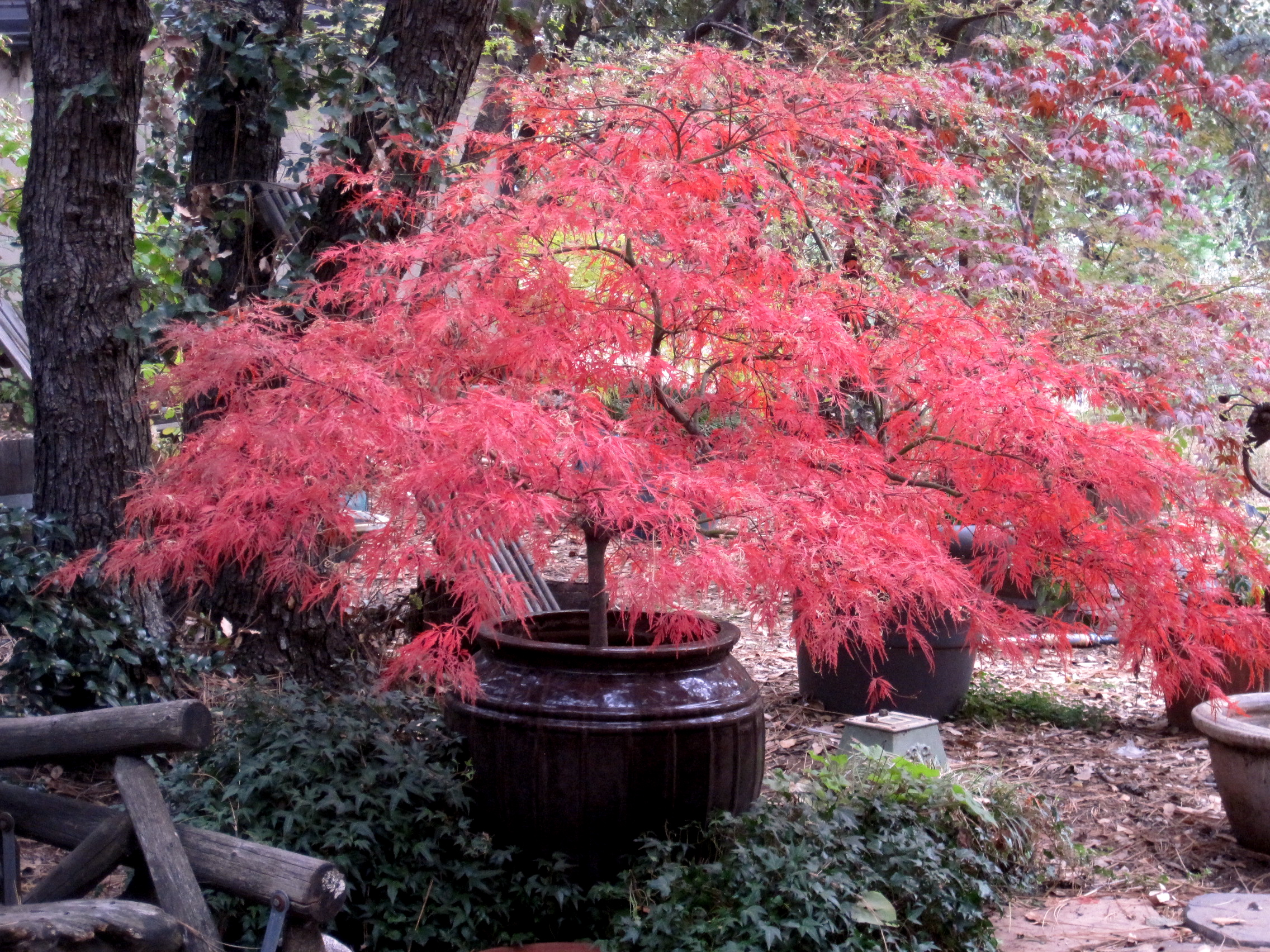 Image gallery oldest japanese maple for Maple trees for sale