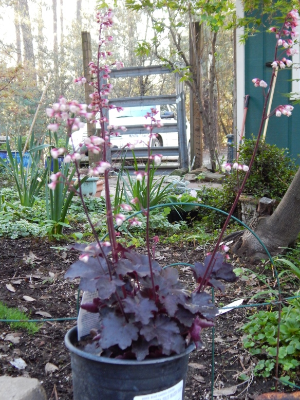 A new variety of coral bells.